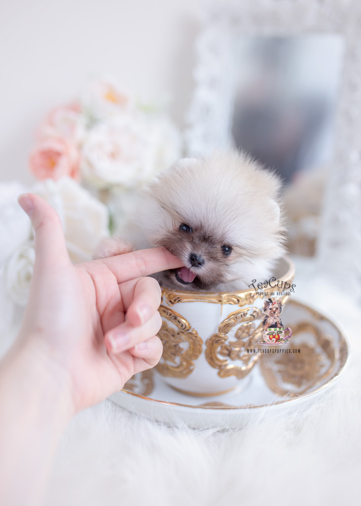 Teacup Pomeranian Johannesburg For Sale